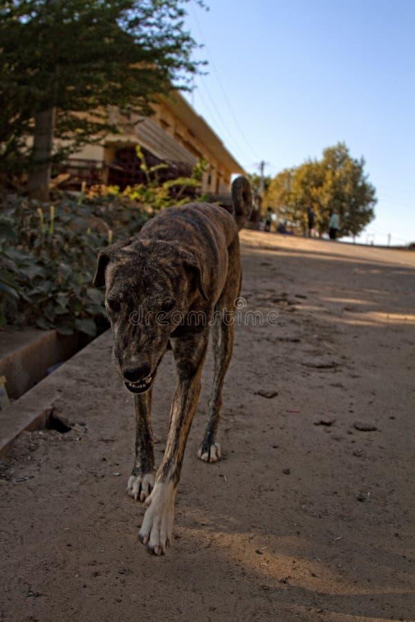 Le chien maigre et bariol? approche le photographe images libres de droits