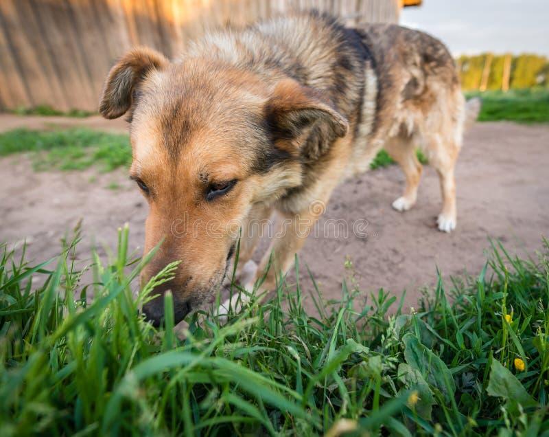 Le chien mange l'herbe photos libres de droits
