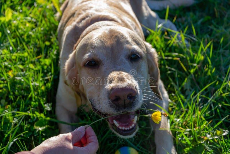 Le chien mange les pissenlits et l'herbe, insuffisance de vitamine, alimentation équilibrée Labrador photo libre de droits