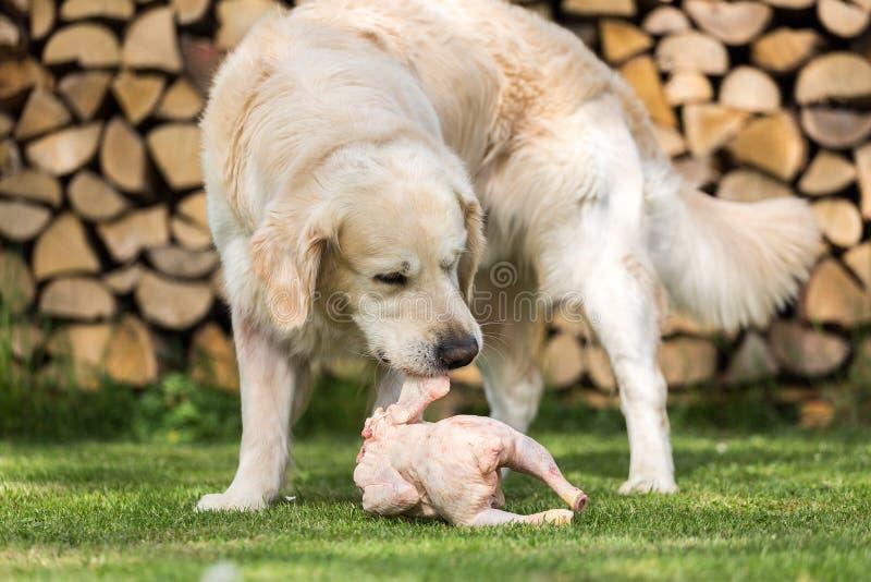 Le chien mange un poulet images stock