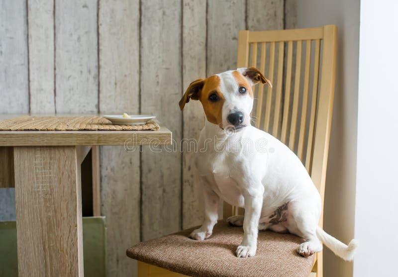Le chien mignon se reposent sur la chaise dans la cuisine près du plat de alimentation avec du fromage et regardent vers la camér photographie stock