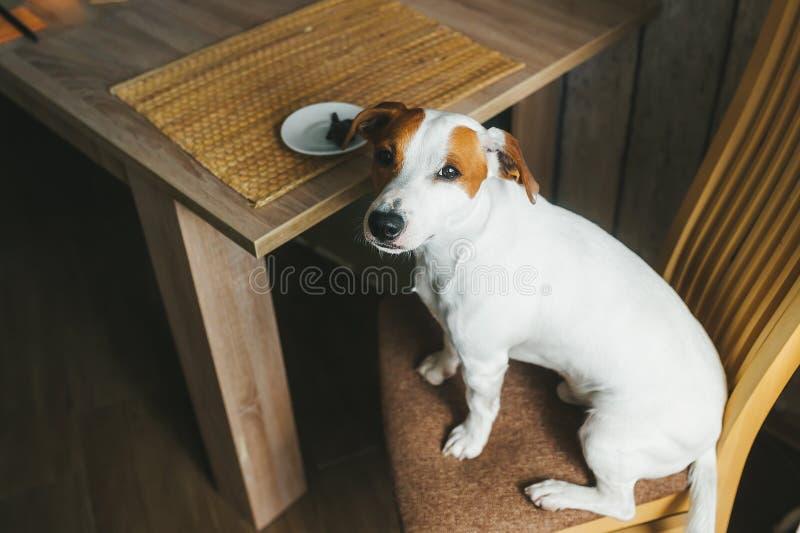 Le chien mignon se reposent sur la chaise dans la cuisine près du plat de alimentation avec la nourriture Vue sup?rieure image libre de droits