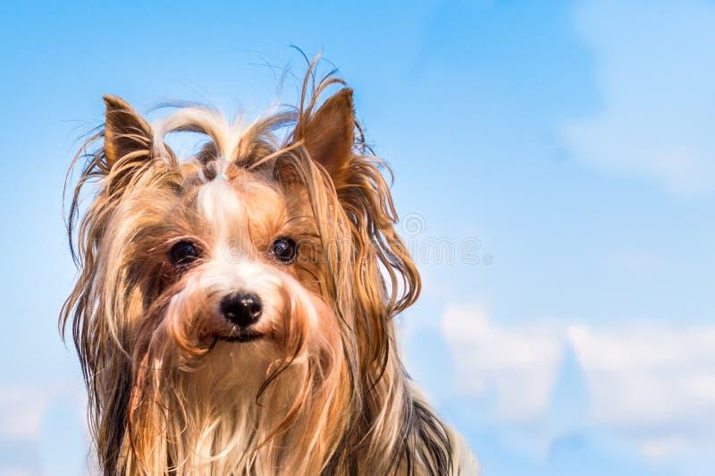 Le chien multiplie le terrier de Yorkshire de castor portrait en gros plan contre un ciel bleu et des nuages Fille photo libre de droits
