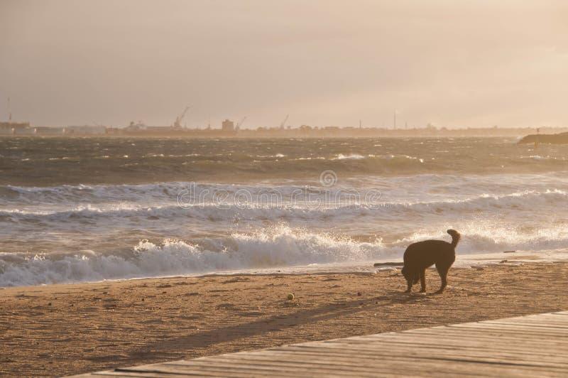Le chien noir apprécie heureusement sur la plage d'or de sable pendant l'après-midi photographie stock