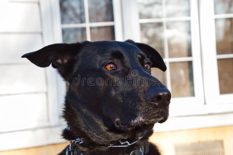 Le chien noir de délivrance de mélangé-race de berger pose avec le regard drôle sur son visage dans la cour photographie stock