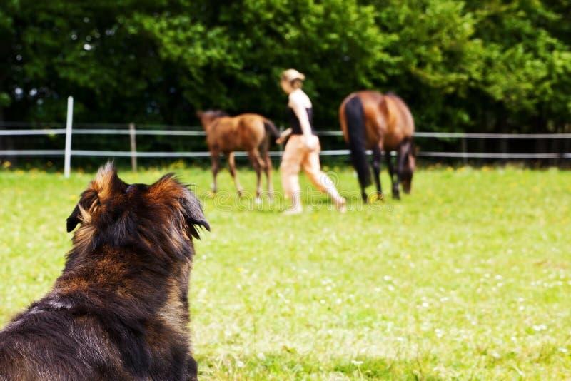 Le chien observe la femme et les chevaux photos libres de droits