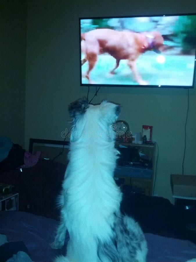 Le chien observe le whisperer de chien image stock