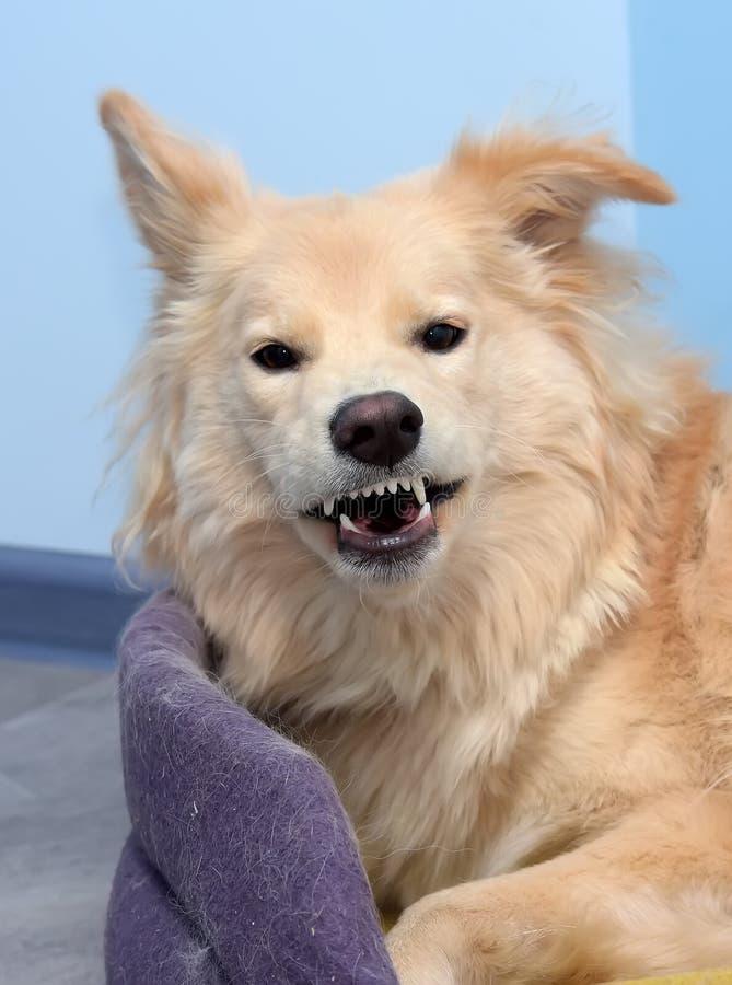 Le chien rit des grimaces photo stock