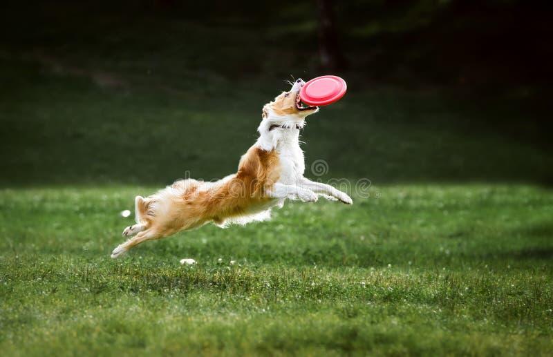 Le chien rouge de border collie saute pour un disque de frisbee de vol images stock