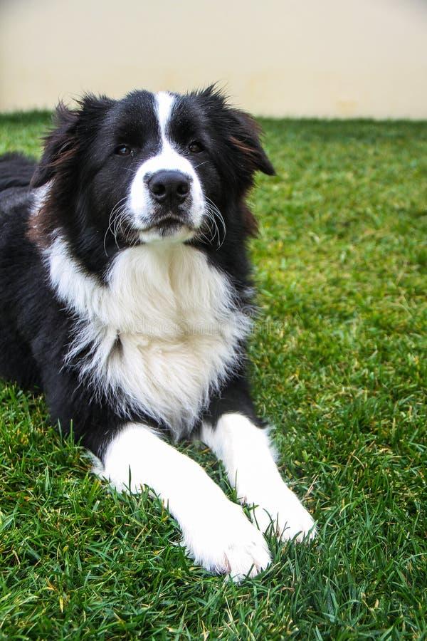 Le chien s'est étendu sur l'herbe avec le regard sérieux images libres de droits