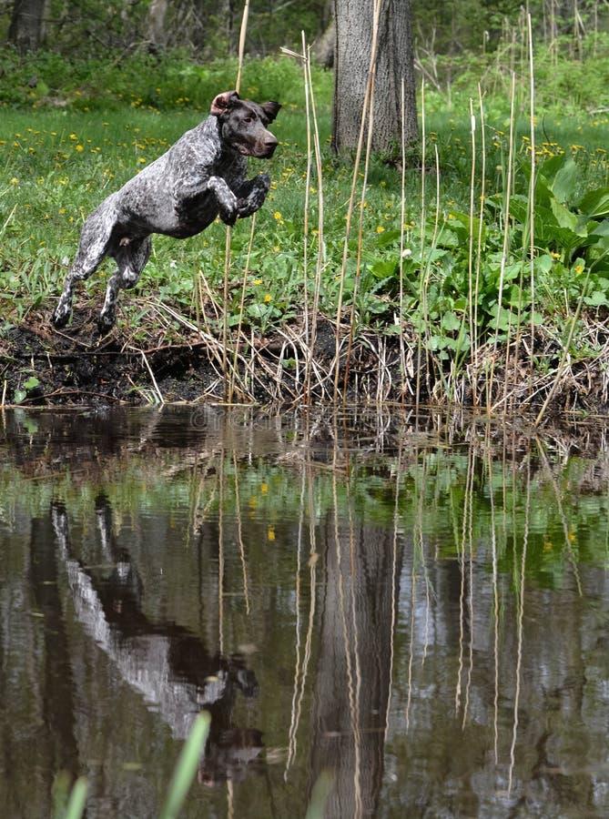 Le chien sautant en rivière photographie stock libre de droits