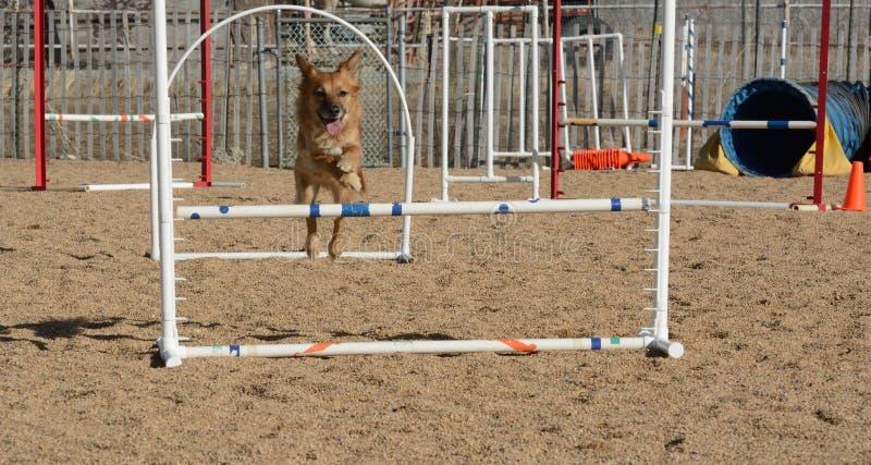 Le chien sautant sur le cours d'agilité de chien photographie stock
