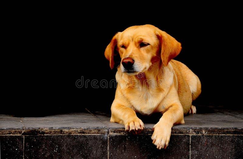 Le chien se reposent et attendent images libres de droits