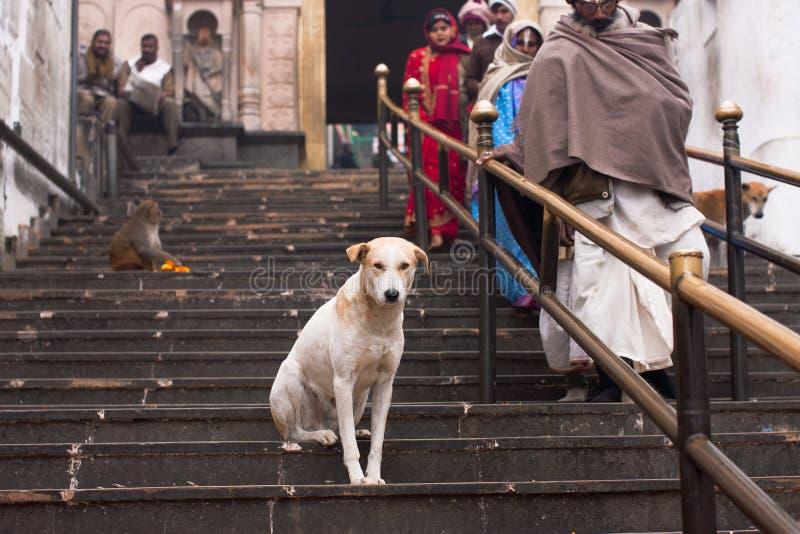 Le chien seul se repose sur les escaliers du temple hindou antique images stock