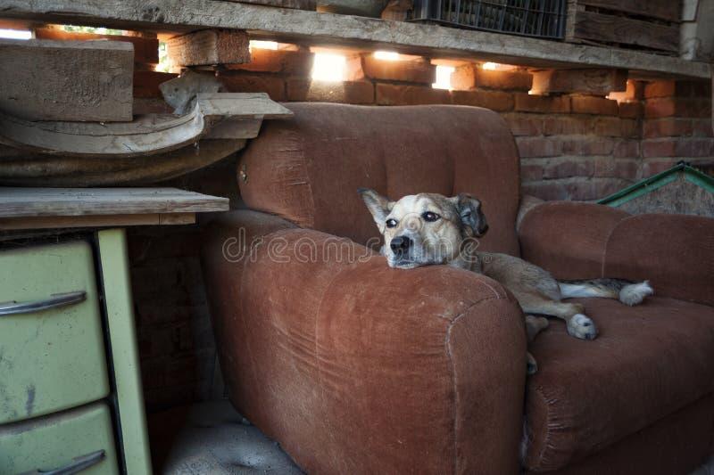Le chien somnole dans son fauteuil, jetant un coup d'oeil loin photos stock