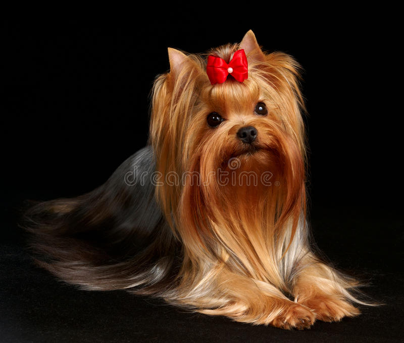 Le chien terrier de Yorkshire sur le fond noir photo libre de droits