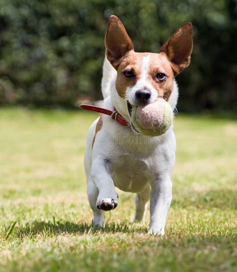 Le chien terrier espiègle de Jack Russell veut jouer la bille image libre de droits