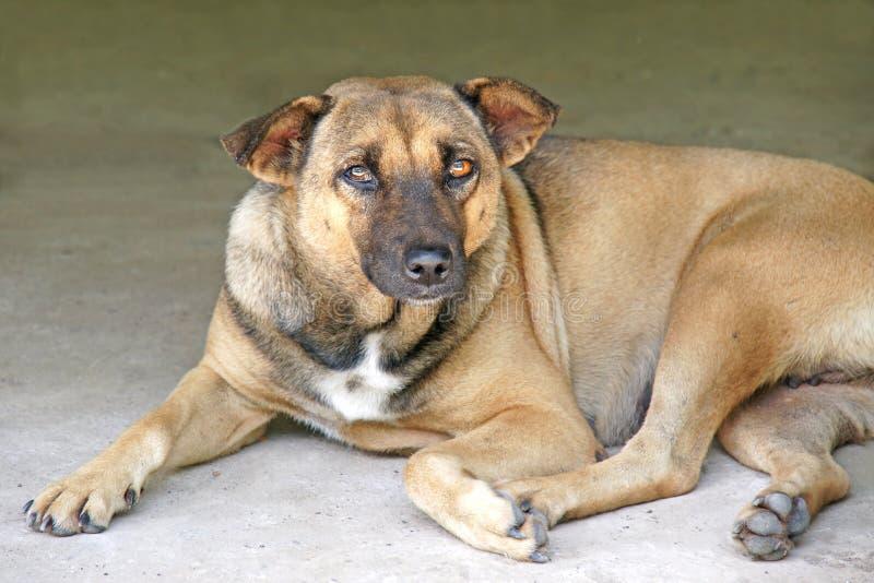 Le chien thaïlandais seul fixent sur le plancher photos libres de droits