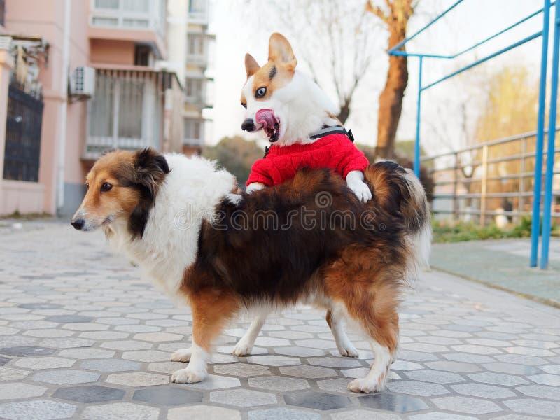 Le chien tricolore à tête noire mignon de pembroke de corgi de gallois avec le chandail rouge essayent d'avoir le sexe avec un ch images stock