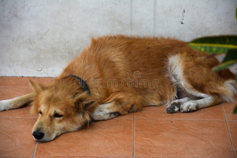 Le chien triste se couchant images libres de droits