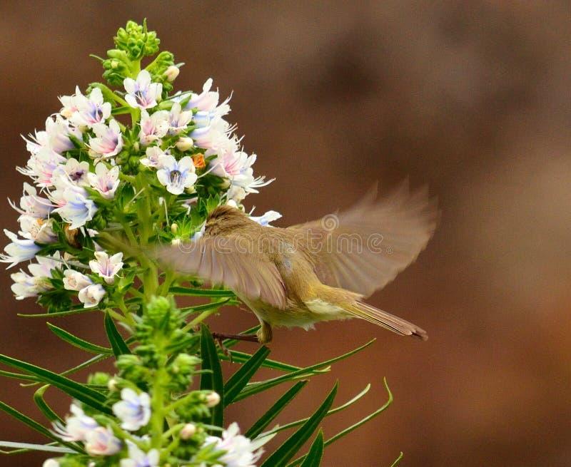 Le chiffchaff commun dans le vol statique sur le groupe d'echium fleurit image libre de droits