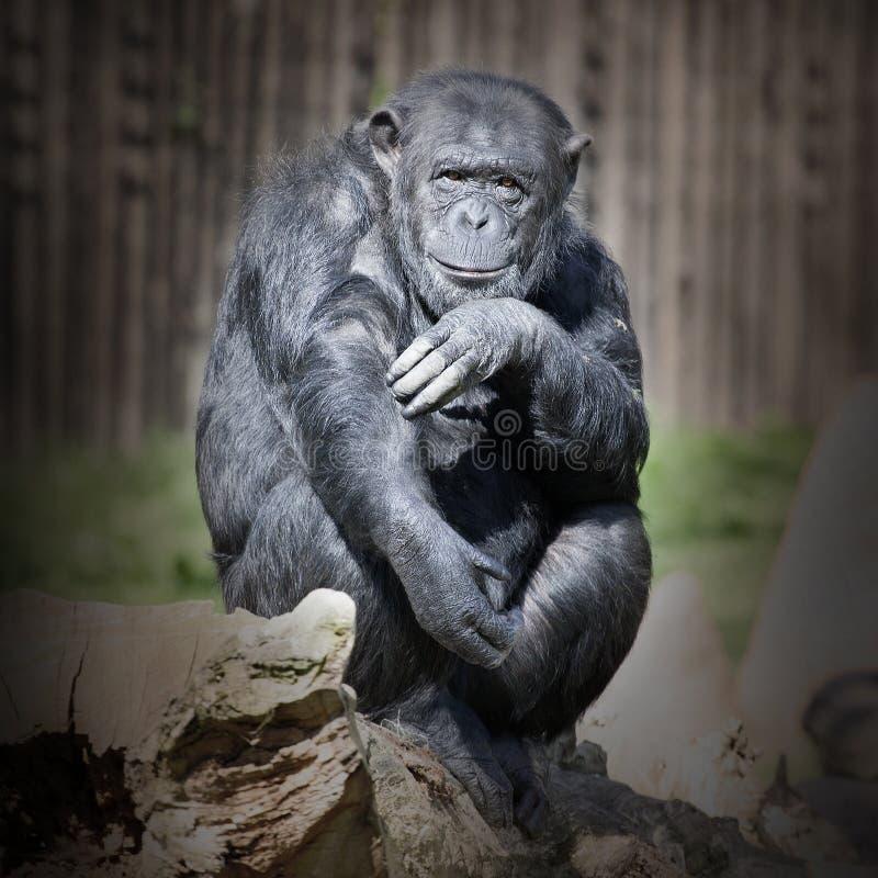 Le chimpanzé photos stock