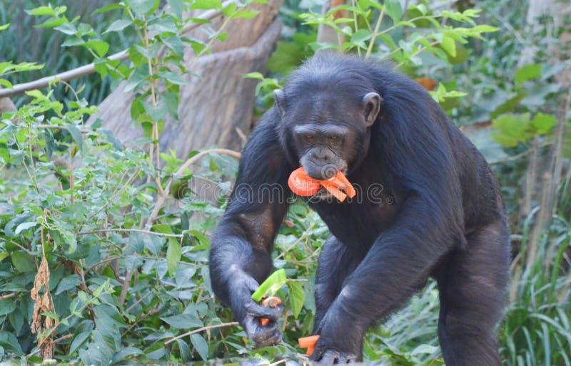 Le chimpanzé mange des veggies 3 photo libre de droits