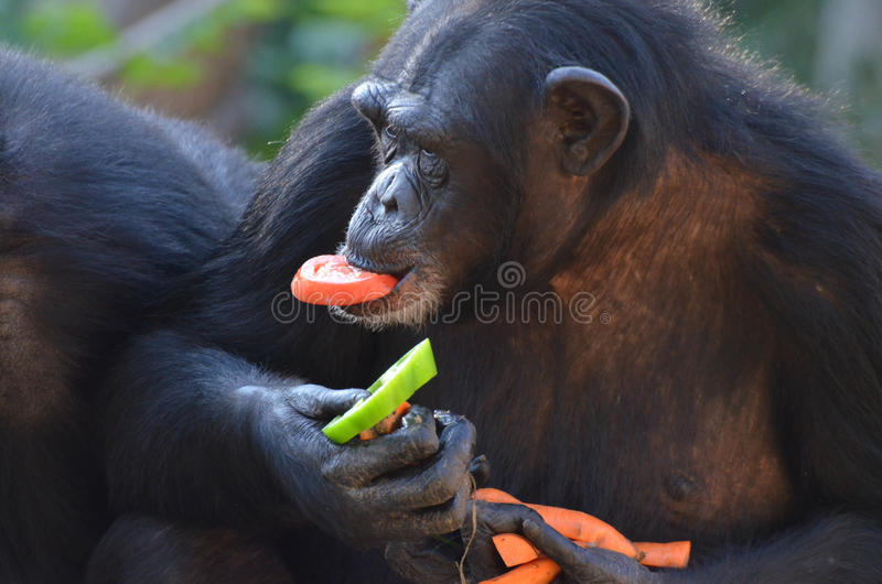 Le chimpanzé mange des veggies 2 photos libres de droits