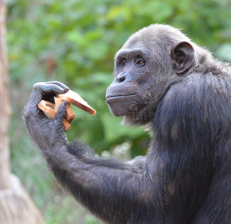 Le chimpanzé mange du pain 4 photographie stock