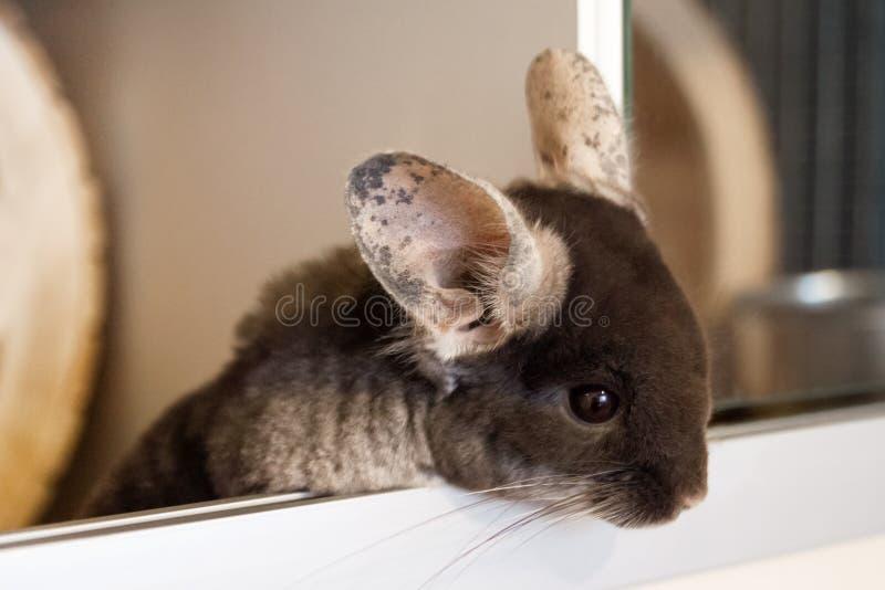 Le chinchilla mignon de couleur brune de velours se repose dans sa maison et regarde vers le bas image stock