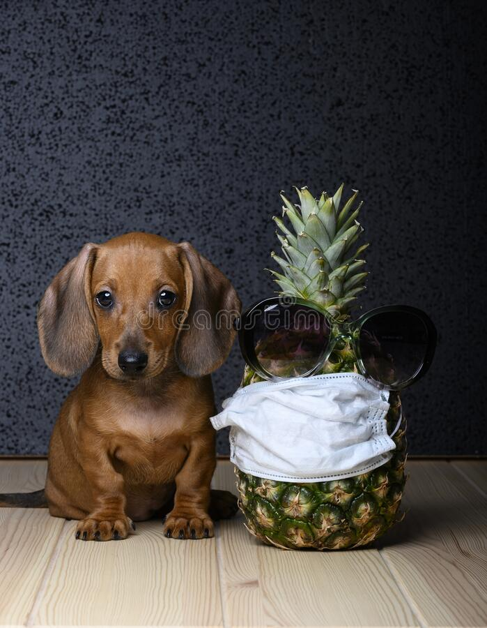Le chiot aux cheveux roux assis sur une table en bois regarde juste devant vous et à côté se dresse un ananas sur lequel photographie stock libre de droits