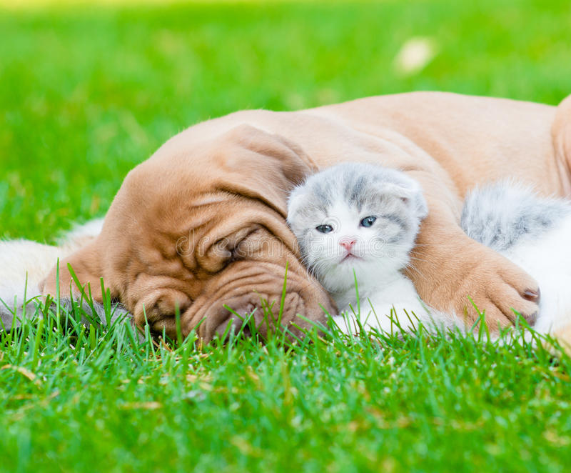 Le chiot de Bordeaux de sommeil de plan rapproché étreint le chaton nouveau-né sur l'herbe verte images stock