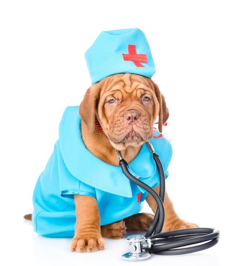 Le chiot de Bordeaux s'est habillé dans le docteur de vêtements avec le stéthoscope D'isolement photo stock
