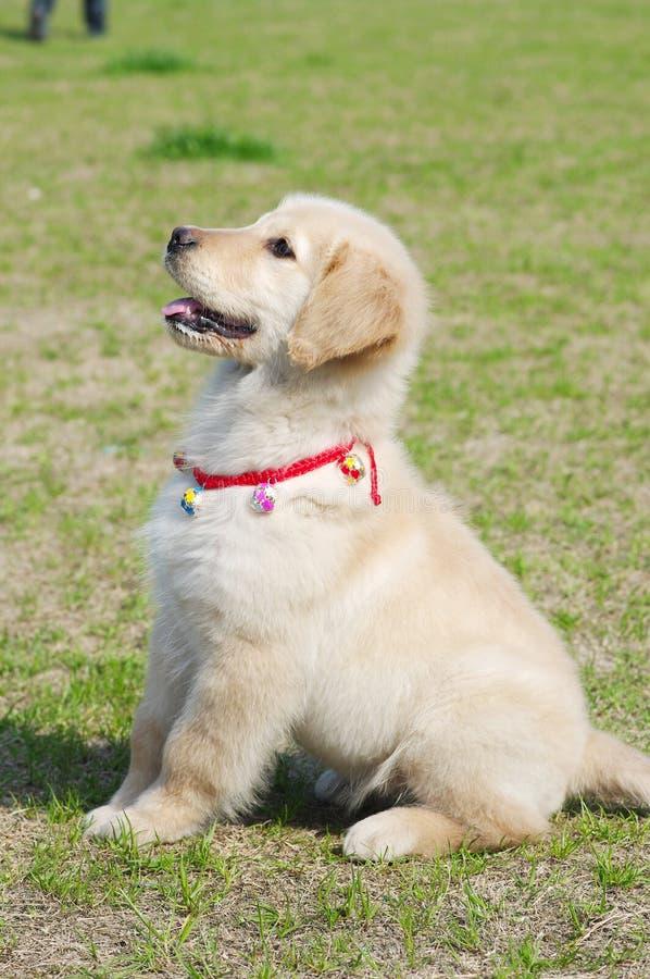 Le chiot de chien d'arrêt d'or se reposent images stock