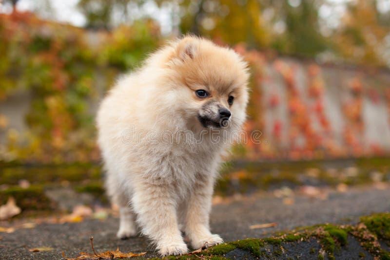 Le chiot de chien de spitz en parc d'automne image stock