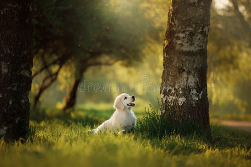 Le chiot de golden retriever fonctionne sur l'herbe et joue photos stock