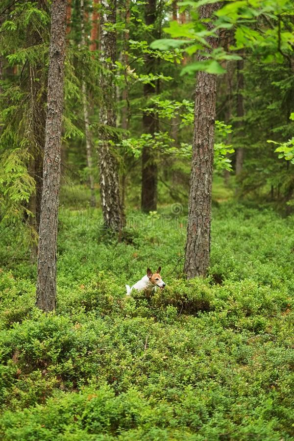 Le chiot de Jack Russell d'aventure fonctionne par la forêt images libres de droits
