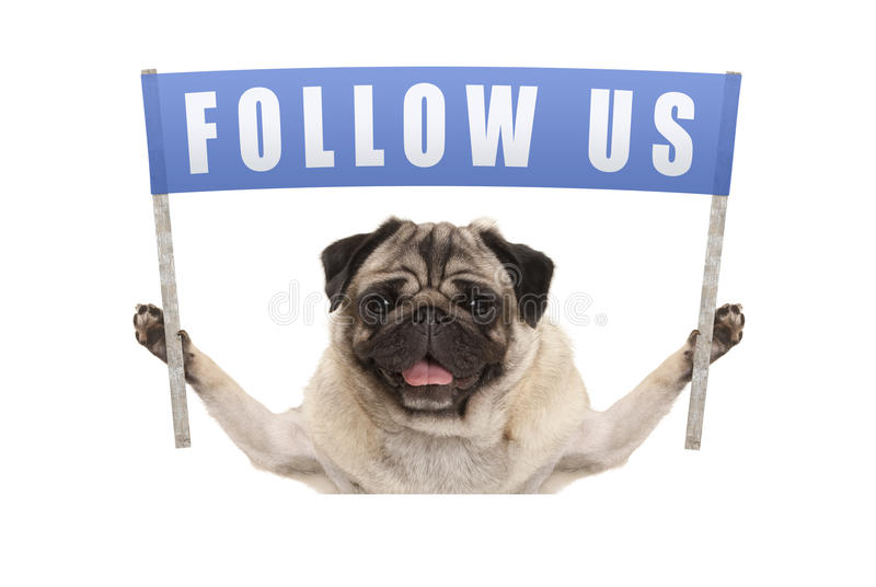 Le chiot de roquet supportant la bannière bleue avec le texte nous suivent pour le media social photos libres de droits