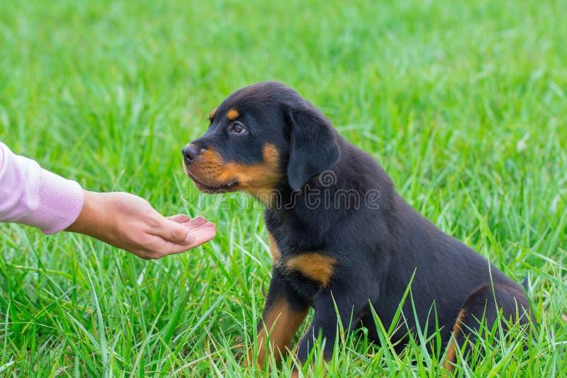 Le chiot de rottweiler dans l'herbe obtient la nourriture en main image stock
