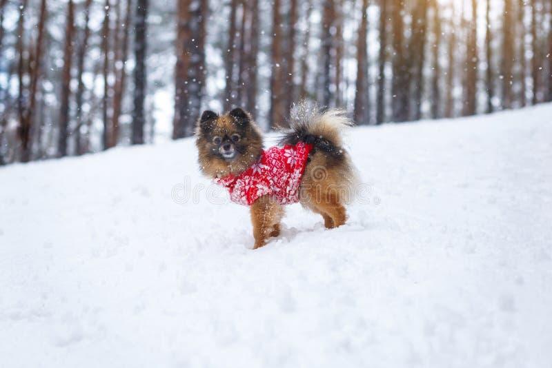 Le chiot de Spitz dans un chandail rouge marche dans les bois Promenades dans les bois image stock