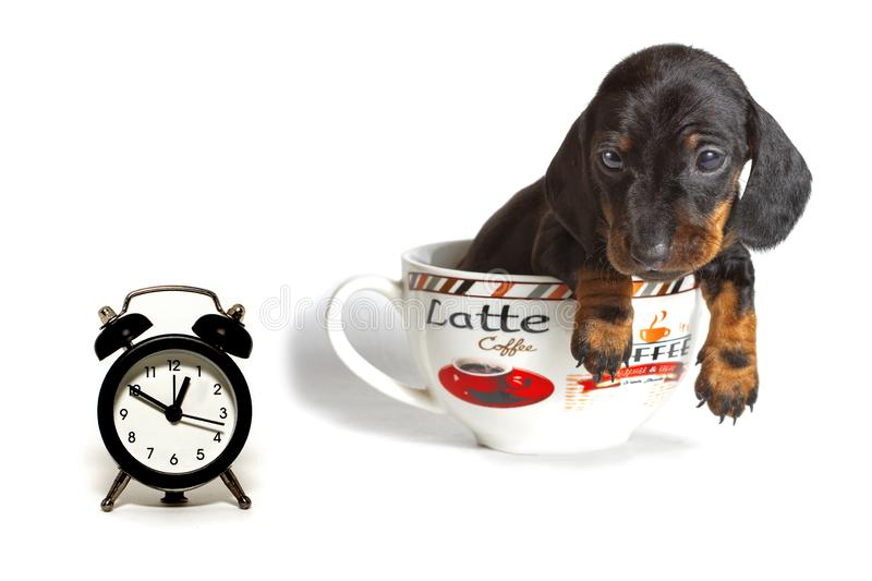 Le chiot de teckel dans une grande tasse de regards de café à l'horloge d'isolement sur un fond blanc photos stock