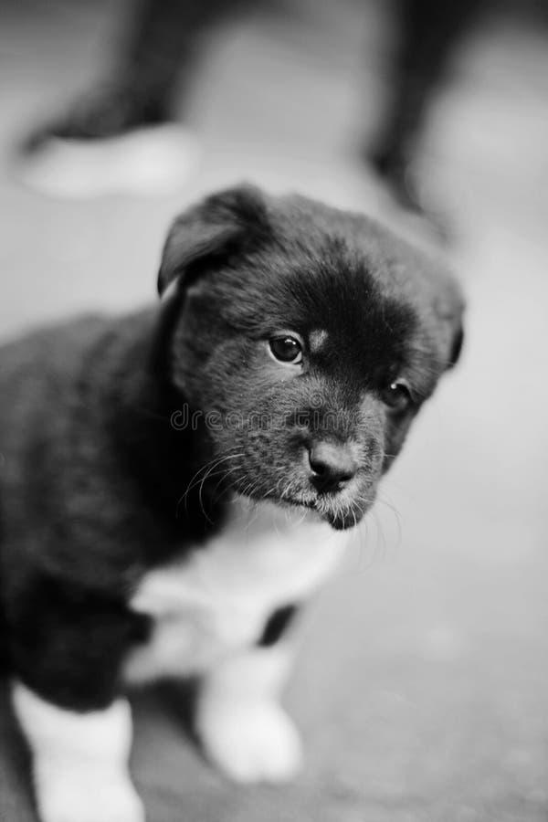 Le chiot dessine les photographies noires et blanches des belles petites oreilles photo stock
