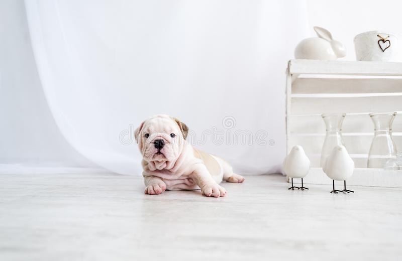 Le chiot drôle du chien anglais de taureau ment sur le plancher et regarder à l'appareil-photo photo stock