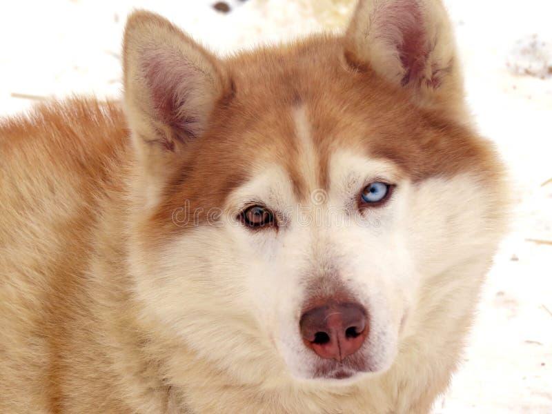 Le chiot enroué pelucheux regarde triste vous Une photo d'un chien images stock