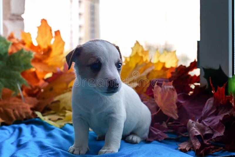Le chiot Jack Russell dans le leavesthe d'automne image libre de droits