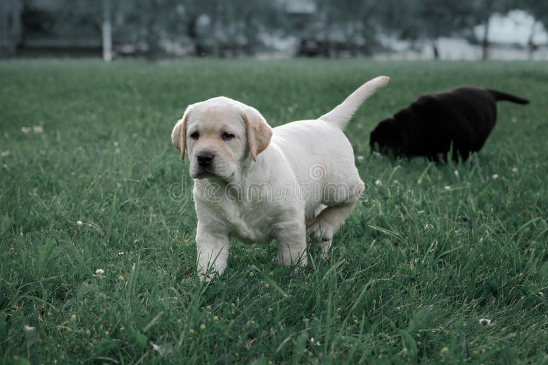 Le chiot jaune mignon labrador retriever fonctionne sur le fond de l'herbe verte images stock
