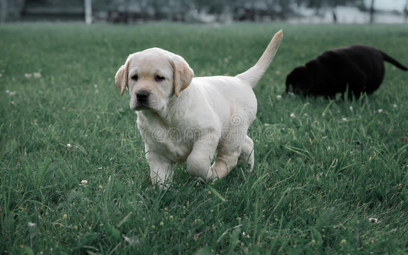 Le chiot jaune mignon labrador retriever fonctionne sur le fond de l'herbe verte photographie stock libre de droits
