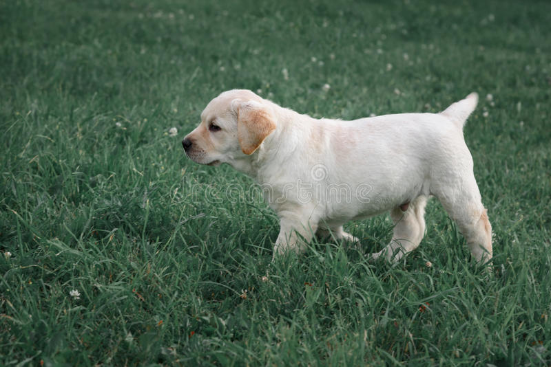 Le chiot jaune mignon labrador retriever fonctionne sur le fond de l'herbe verte photos stock
