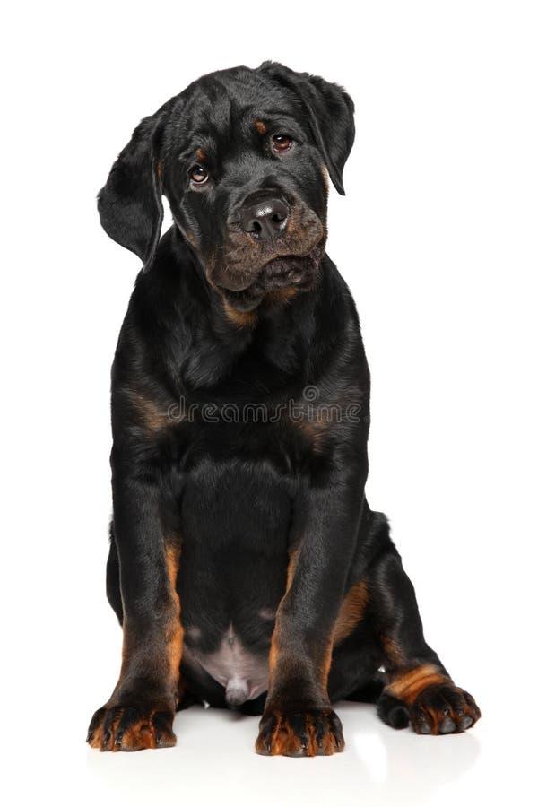 Le chiot mignon de rottweiler se repose image stock