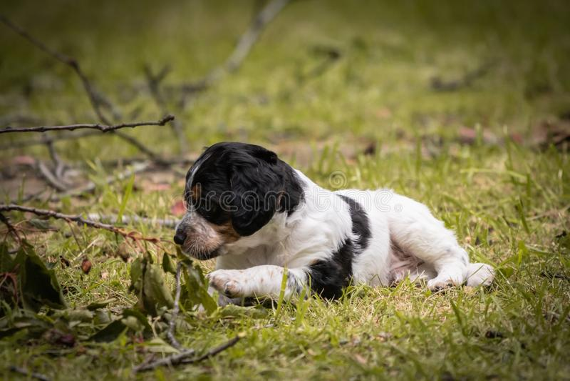 Le chiot mignon drôle d'épagneul de Bretagne mangeant des cerises et des feuilles, a ouvert la bouche photo stock